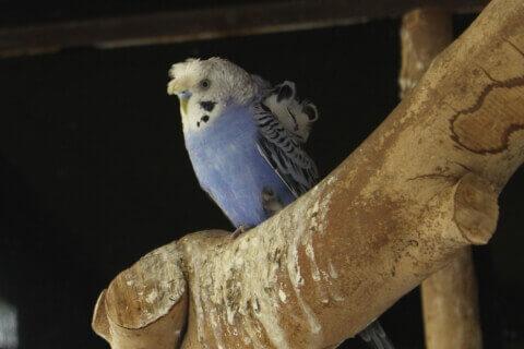 白と淡いブルーの羽衣セキセイインコ