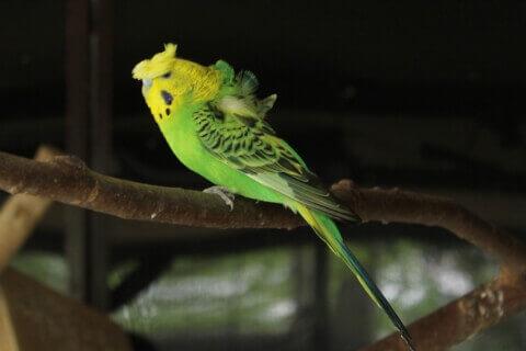 黄色と緑のハゴロモセキセイインコ