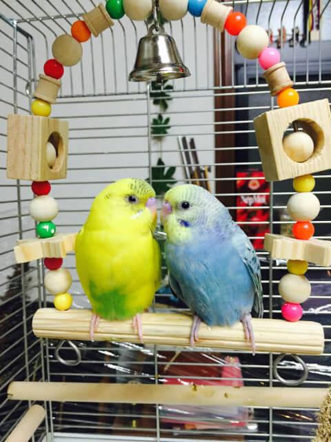 カラフルなおもちゃに乗る2羽のセキセイインコ