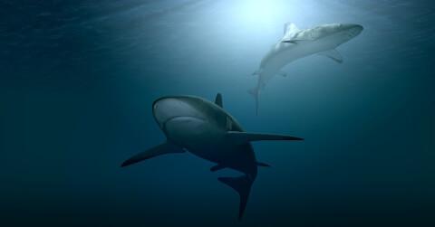 海を泳ぐ2匹のサメ