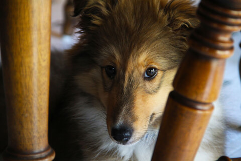 sheltie_between_pillar