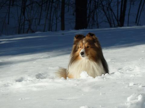 sheltie_in_snow