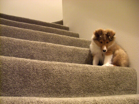 sheltie_on_step