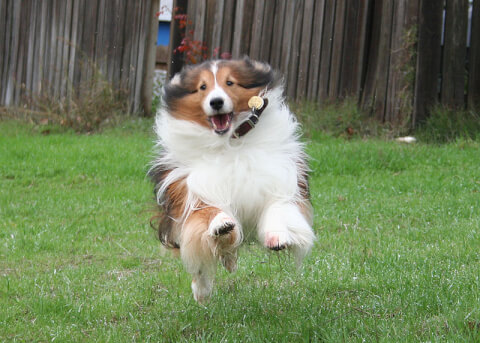 sheltie_run