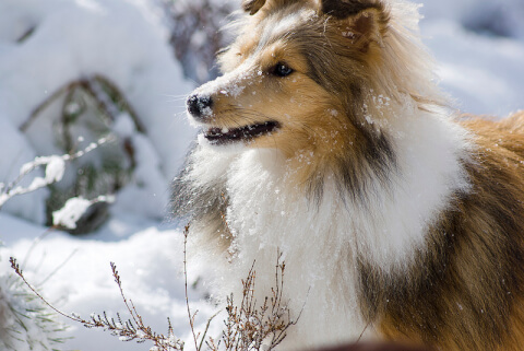 sheltie_sable