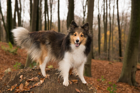sheltie_sable2
