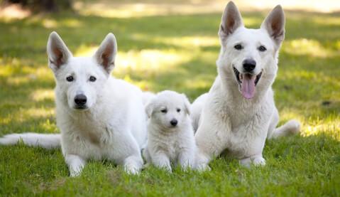 シェパード ジャーマン 種類 性格 白 黒 警察犬