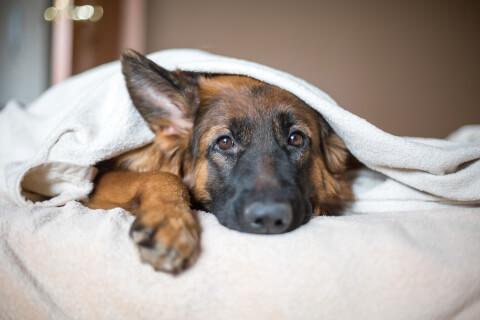病気 シェパード ジャーマン 種類 性格 白 黒 警察犬