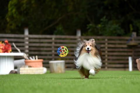 シェットランドシープドッグ ブルーマール 子犬 大きさ 性格 飼い方 寿命 コリー 黒