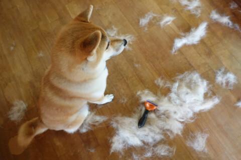 柴犬 ブラッシング