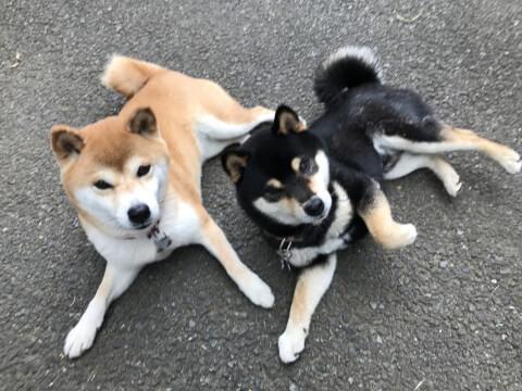 柴犬 性格