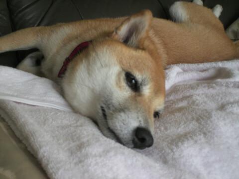 柴犬 シニア犬 認知症