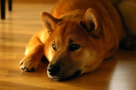 shibathunder