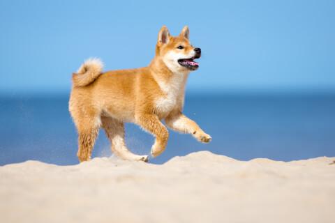 柴犬 性格 かわいい 寿命 黒 しつけ 飼い方 大きさ