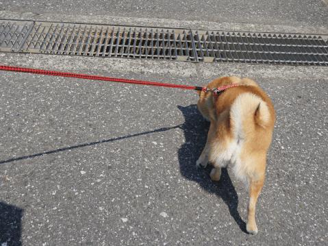 柴犬 性格 かわいい 寿命 黒 しつけ 飼い方 おしり