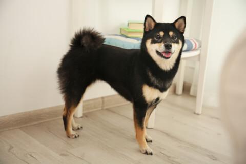 黒柴 柴犬 性格 かわいい 寿命 黒 しつけ 飼い方