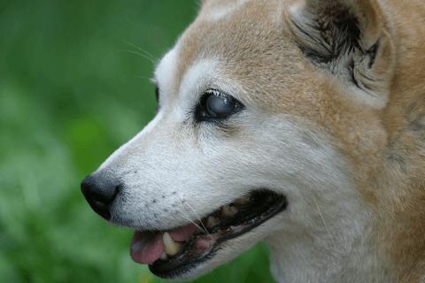 柴犬 性格 かわいい 寿命 黒 しつけ 飼い方