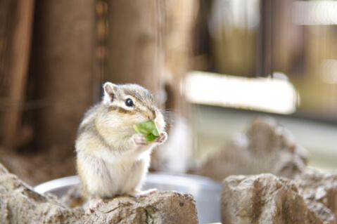 シマリス 小動物 ペット