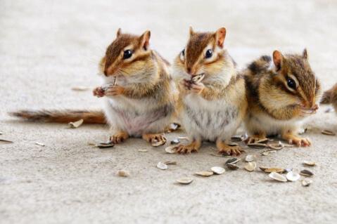 シマリス ペット 小動物