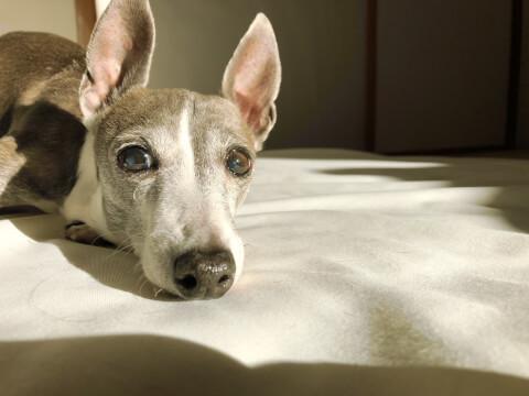 ベッドの上で横になるイタグレ