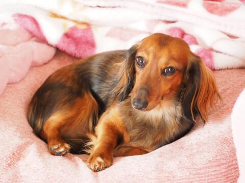 ピンクの毛布の上で丸くなるミニチュアダックスフント