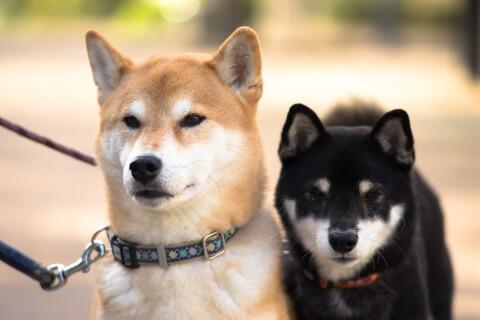 赤と黒の柴犬