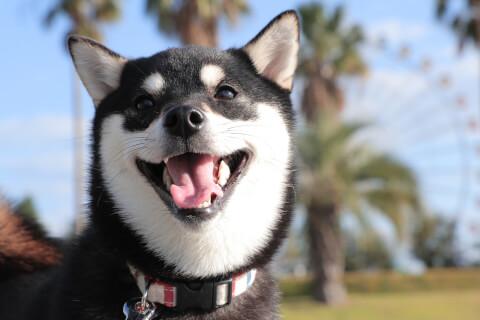 笑顔の黒柴犬