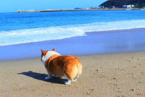 浜辺とコーギー