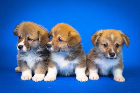 コーギーの子犬3匹