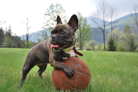 ボールで遊ぶフレンチブルドッグ