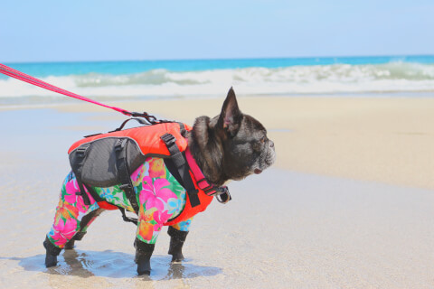 海辺にいるフレンチブルドッグ
