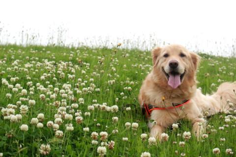 花畑にいるゴールデン・レトリーバー