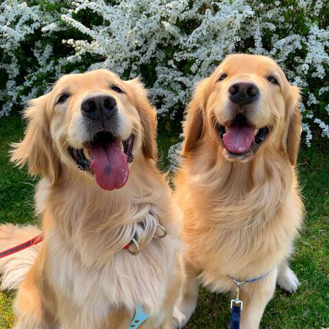 笑顔のゴールデン・レトリーバー2匹