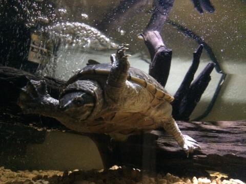 泳ぐミシシッピニオイガメ