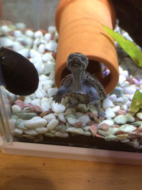 ミシシッピニオイガメの幼体