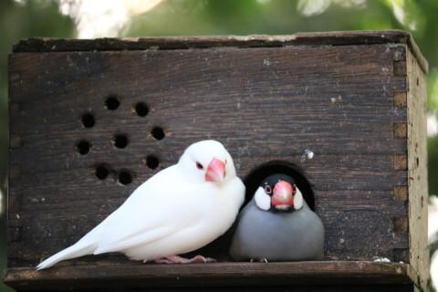 白とノーマルの文鳥