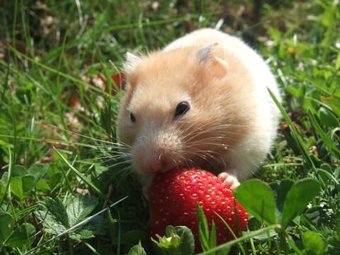 イチゴを食べるハムスター