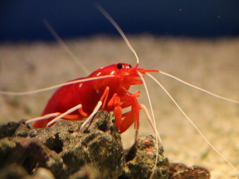 赤い ヤマト ヌマエビ