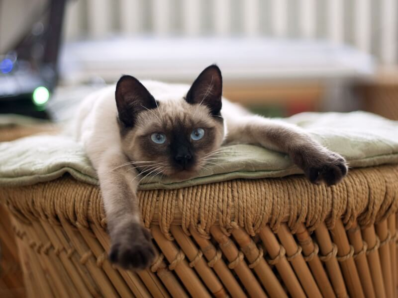 シャム猫 性格