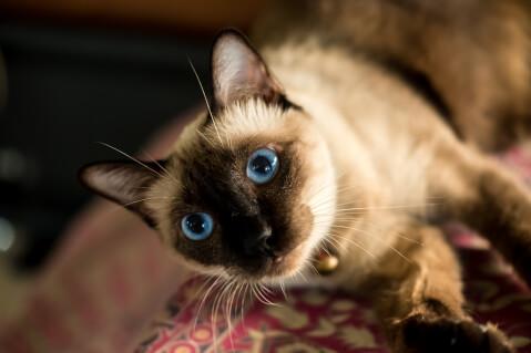 シャム 猫 性格  ミックス 雑種 野良 子猫 値段