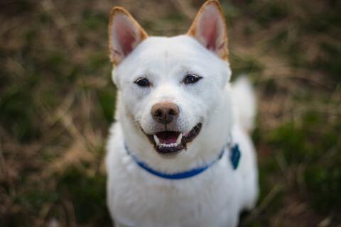 白柴 柴犬 性格 かわいい 寿命 黒 しつけ 飼い方