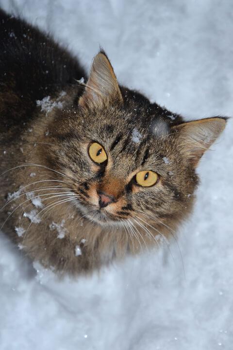 ノルウェージャン フォレストキャット 大きさ 鳴き声 性格 猫 体重