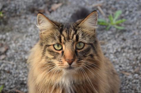 ノルウェージャン フォレスト キャット 大きさ 鳴き声 性格 猫 体重
