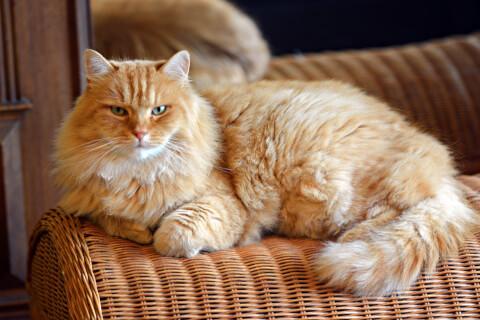 サイベリアン 大きさ 鳴き声 性格 猫 体重 アレルギー