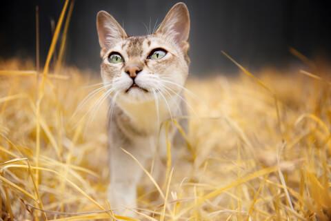 シンガプーラ 特徴 飼い方 大きさ 抜け毛 猫 値段 寿命 留守番