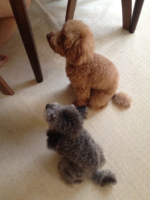 sit_toy_poodles