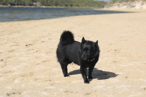 砂浜にいるスキッパーキ