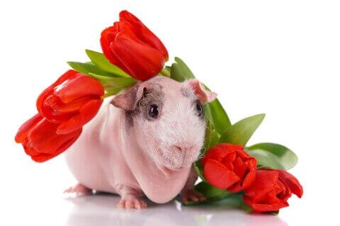 赤い花とスキニーギニアピッグ