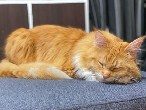 猫 寝る メインクーン