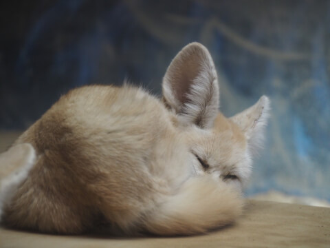 眠っているフェネック